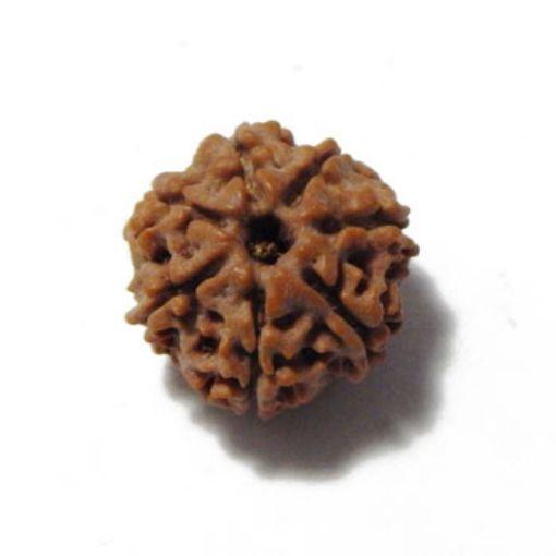 Picture of Seven Mukhi (Face) Nepali Rudraksha